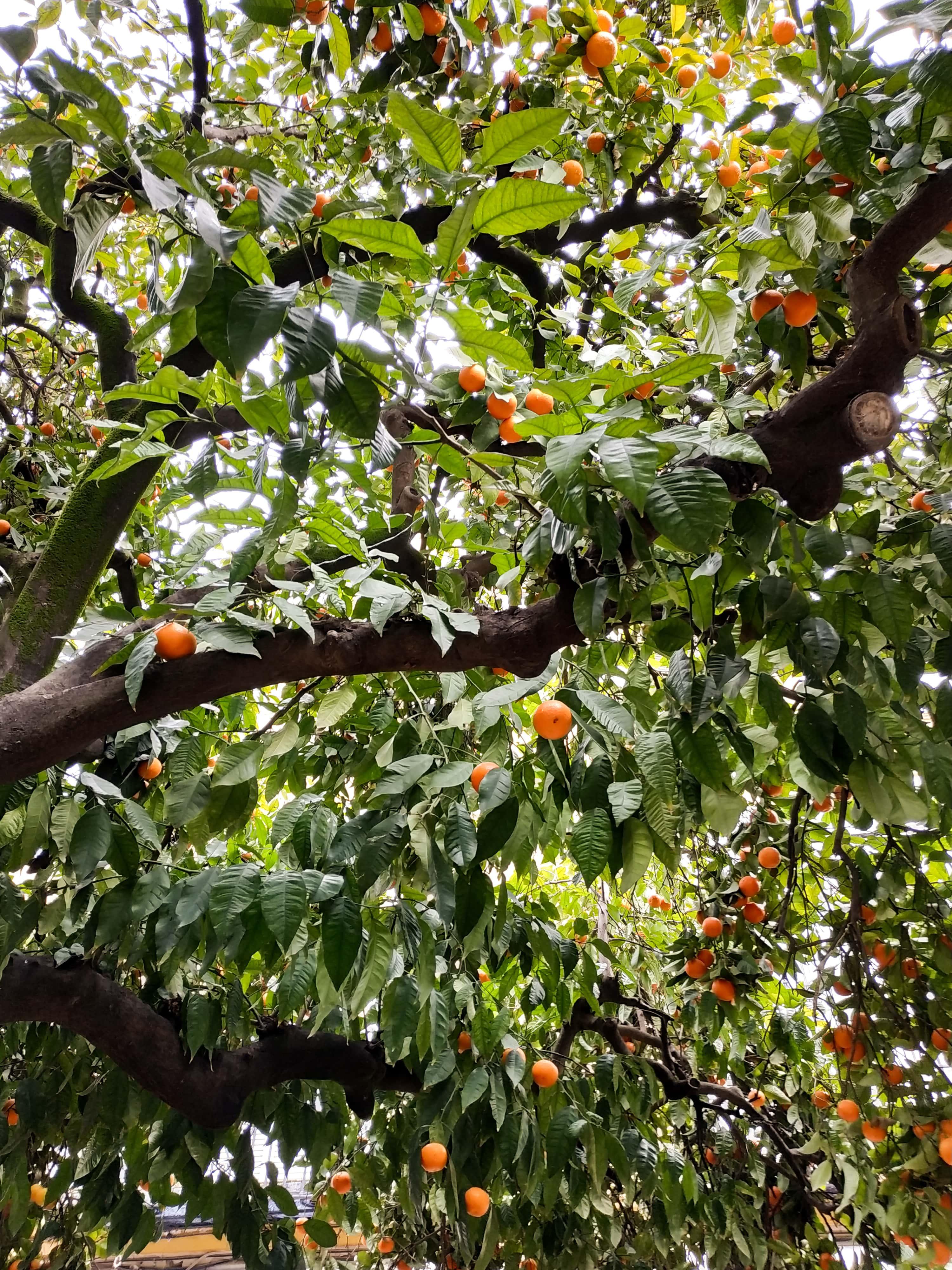 Orangers : Partez à Séville à la découverte des quartiers Santa Cruz et La Macarena en plein mois de janvier.